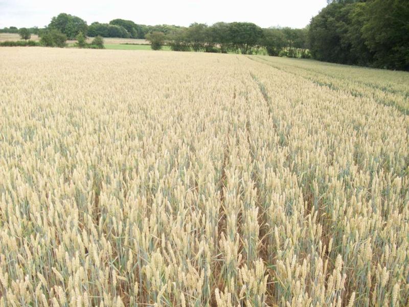 aperçu des blés en 24 - Page 2 100_1221