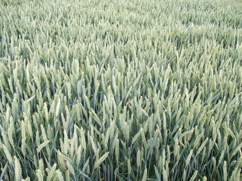 aperçu des blés en 24 - Page 2 100_1310