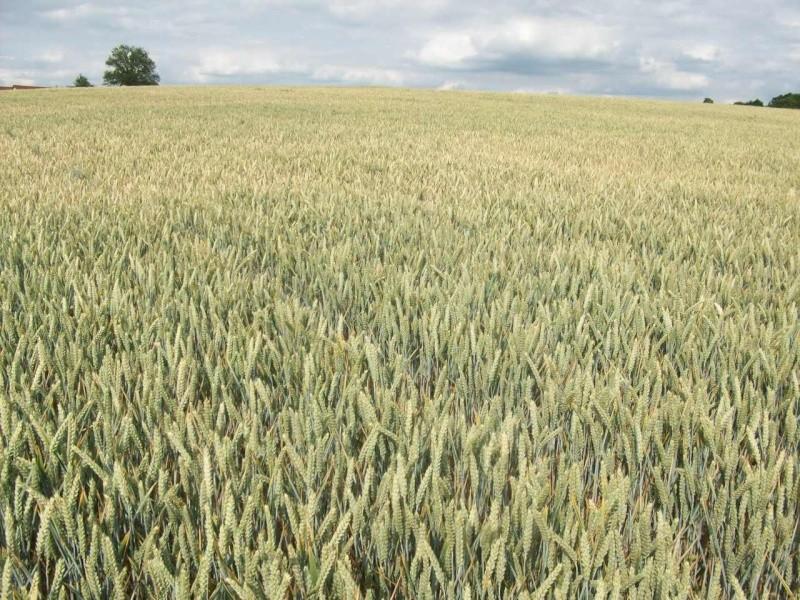 aperçu des blés en 24 - Page 2 100_1311