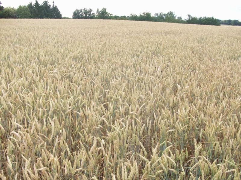 aperçu des blés en 24 - Page 2 100_1313