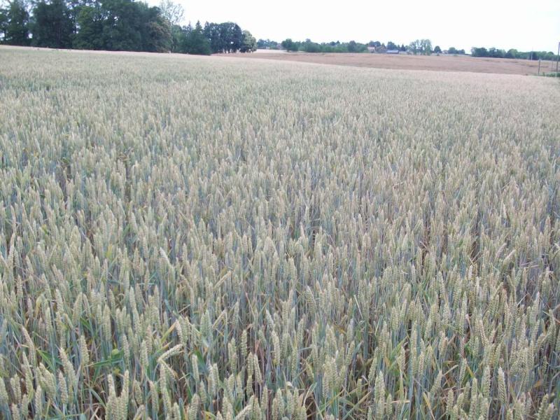 aperçu des blés en 24 - Page 2 100_1314