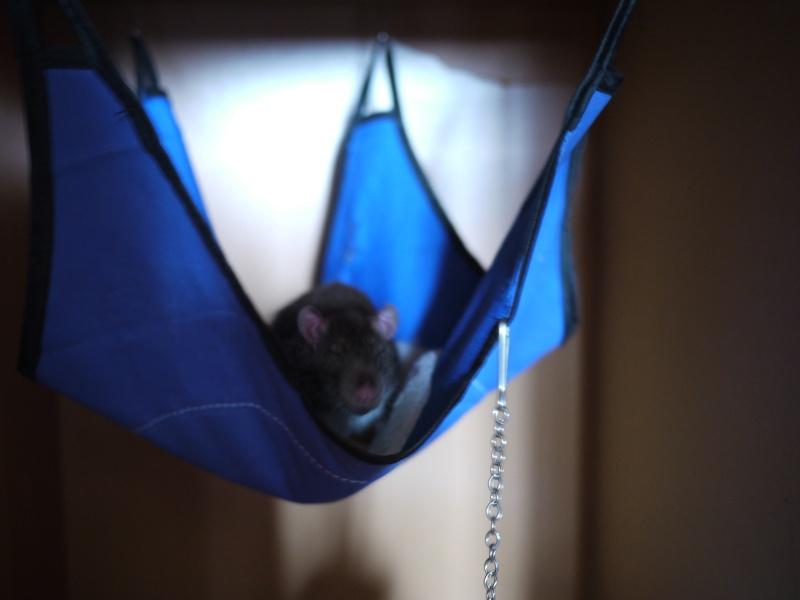 mes ratous ! Rats_015