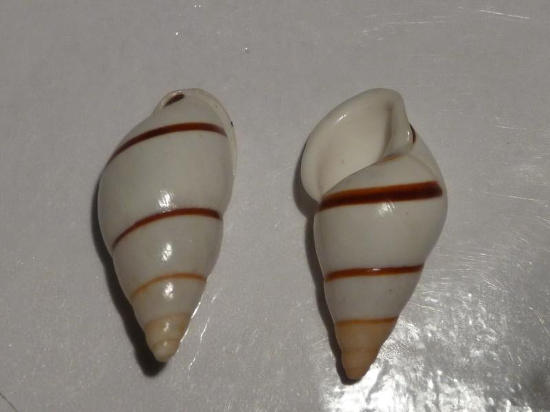 Chrysallis virgata dryas (Broderip, 1839) P1030514
