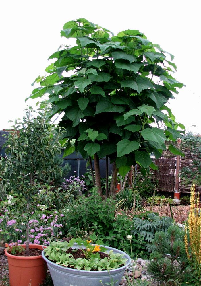 Unbekannte riesige Grünpflanze / Baum in einem Garten - wer erkennt sie anhand meiner Beschreibung? - gelöst: Paulownia tomentosa Pauli010