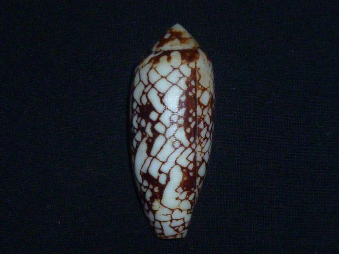 Conus (Darioconus) aulicus f. gracianus (da Motta, 1982) Aulicu10