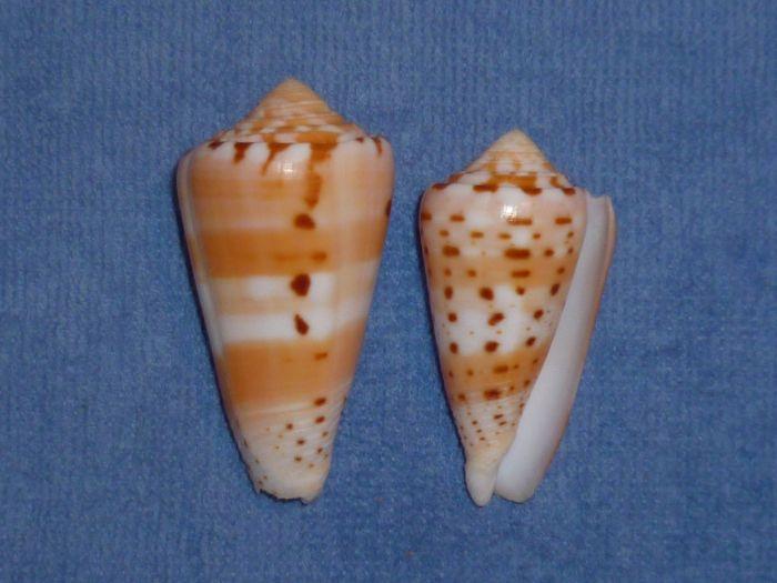 Conus (Pionoconus) barthelemyi  Bernardi, 1861 - Page 2 Barthe10