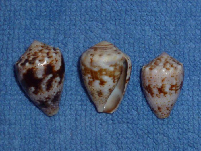 Conus (Virroconus) aristophanes - (G. B. Sowerby II, 1857) Corona10
