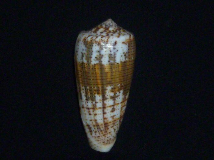Conus (Pionoconus) magus consul  Boivin, 1864 Conus (Pionoconus) magus Magus_13