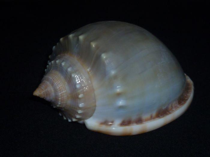 Phalium glaucum - (Linnaeus, 1758) P1010118