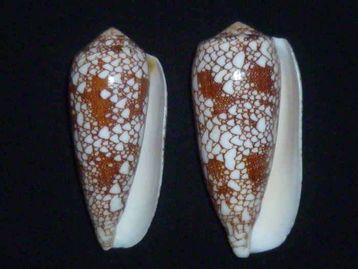 Conus (Darioconus) omaria      Hwass in Bruguière, 1792 P1010214