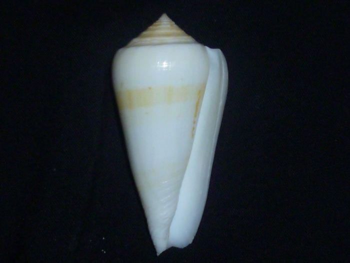 Conus (Pionoconus) consors  GB Sowerby I, 1833 P1010216