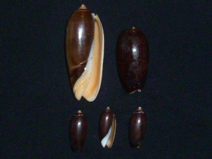 Olivida : 1 miniacea f. marrati, 2 elegans f. tenebrosa, 3,4,5 tigridella f. oriola, Lamarck 1811 P1010232
