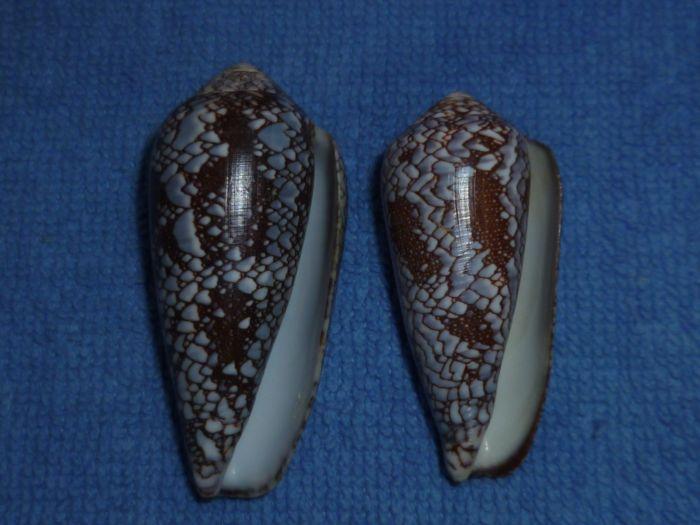 Conus (Darioconus) pennaceus   Born, 1778 Praela10