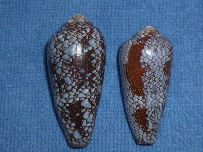 Conus (Darioconus) pennaceus   Born, 1778 Praela11