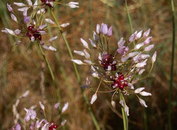 Allium sp (finistère) Allium10