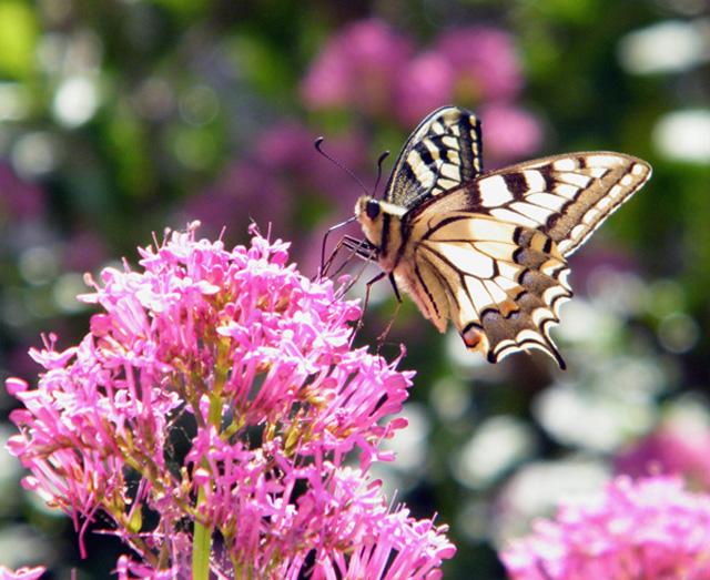 """ONTOGENESES ANNUELLES de """"Papilio machaon""""? C'est parti ! Papili10"""