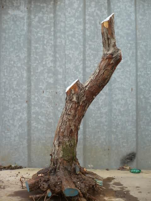 Un biancospino che diventa bonsai...... 161baj10