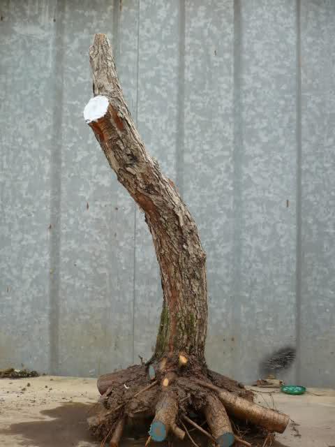 Un biancospino che diventa bonsai...... 1zqsgg10