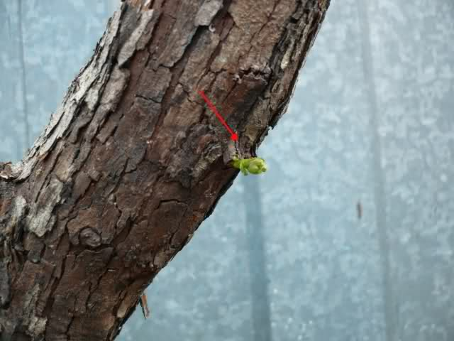 Un biancospino che diventa bonsai...... 20gnw410