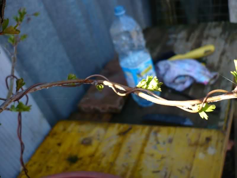 Un biancospino che diventa bonsai...... 20p9b310
