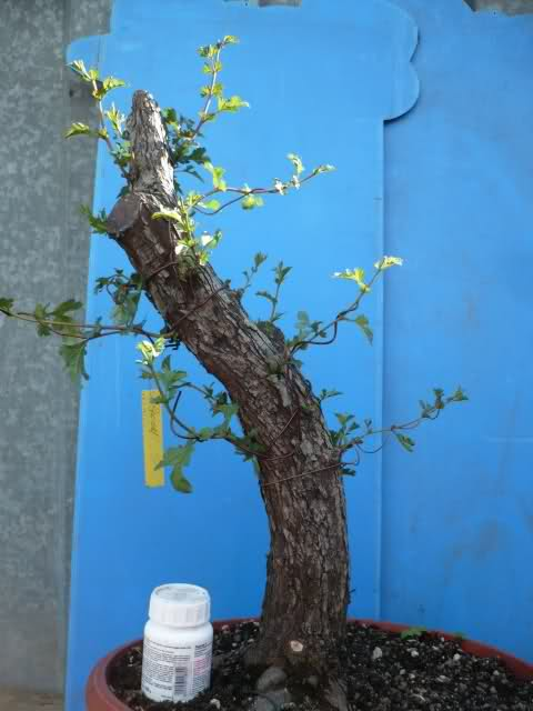 Un biancospino che diventa bonsai...... 2ljrmm10