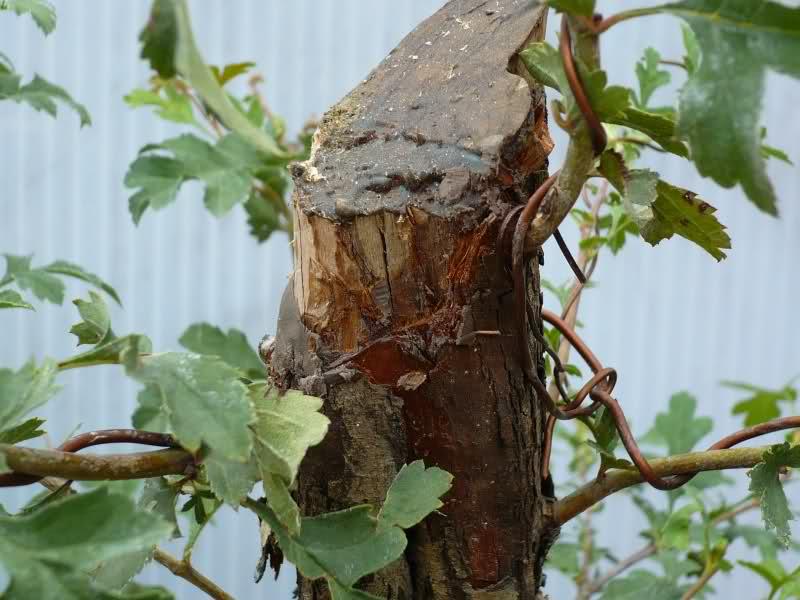 Un biancospino che diventa bonsai...... 2vi4c410