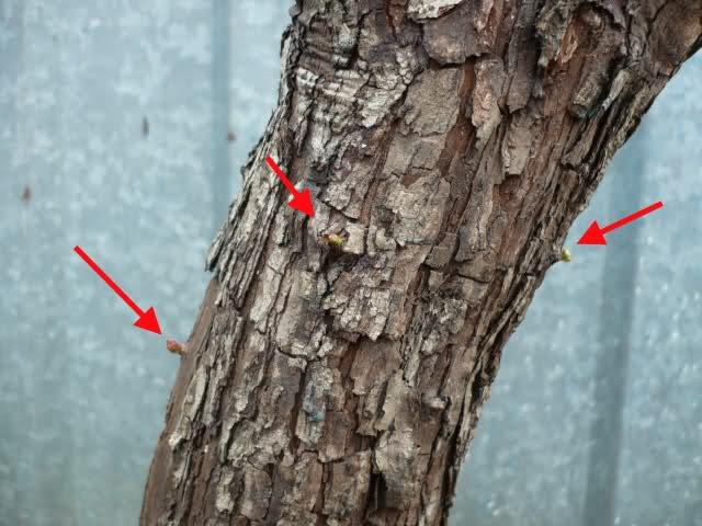 Un biancospino che diventa bonsai...... 5kevx410