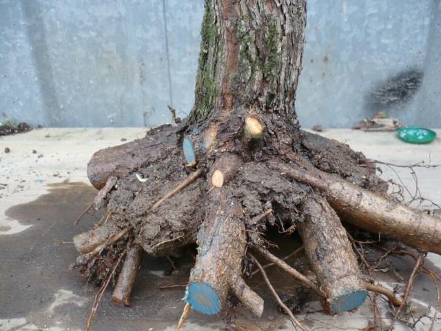 Un biancospino che diventa bonsai...... P1010710