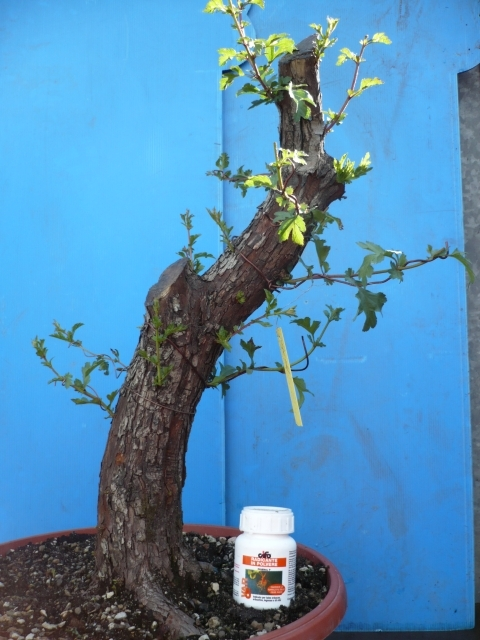 Un biancospino che diventa bonsai...... P1020810