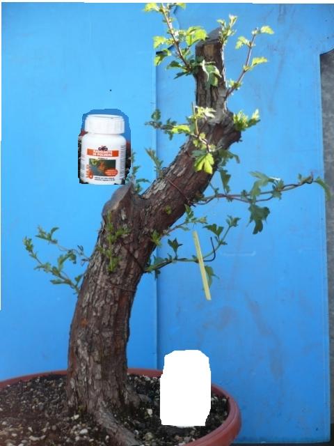 Un biancospino che diventa bonsai...... P1020811