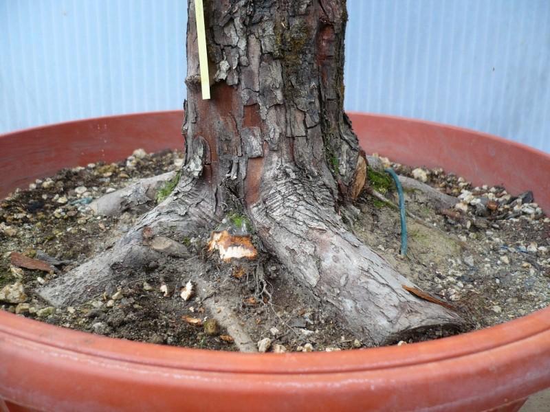 Un biancospino che diventa bonsai...... P1030110