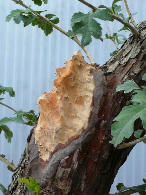 Un biancospino che diventa bonsai...... P1030212