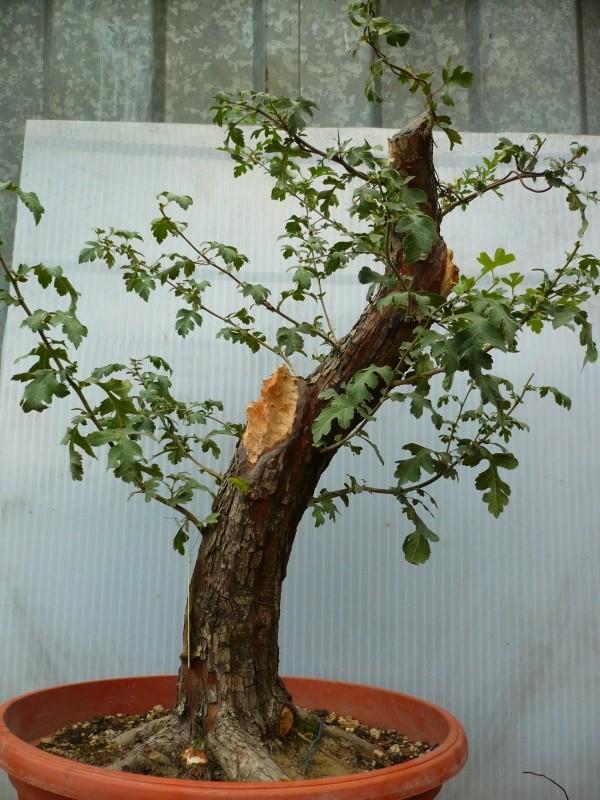 Un biancospino che diventa bonsai...... P1030213
