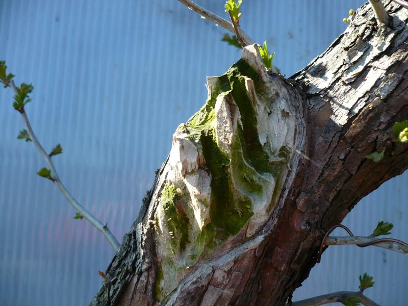 Un biancospino che diventa bonsai...... P1040211