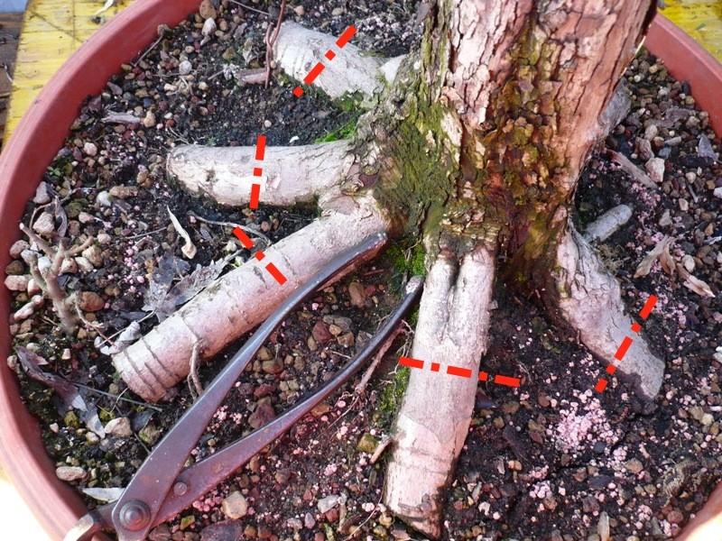 Un biancospino che diventa bonsai...... P1040212
