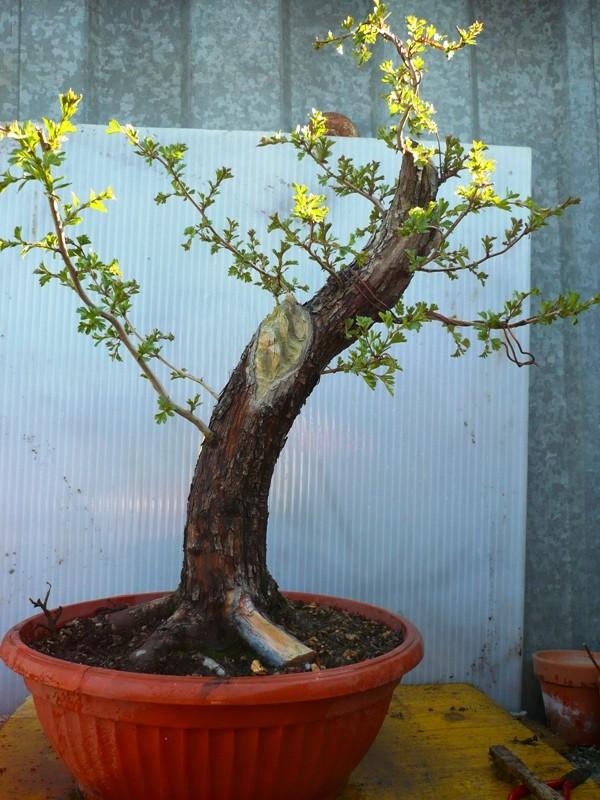 Un biancospino che diventa bonsai...... P1040412