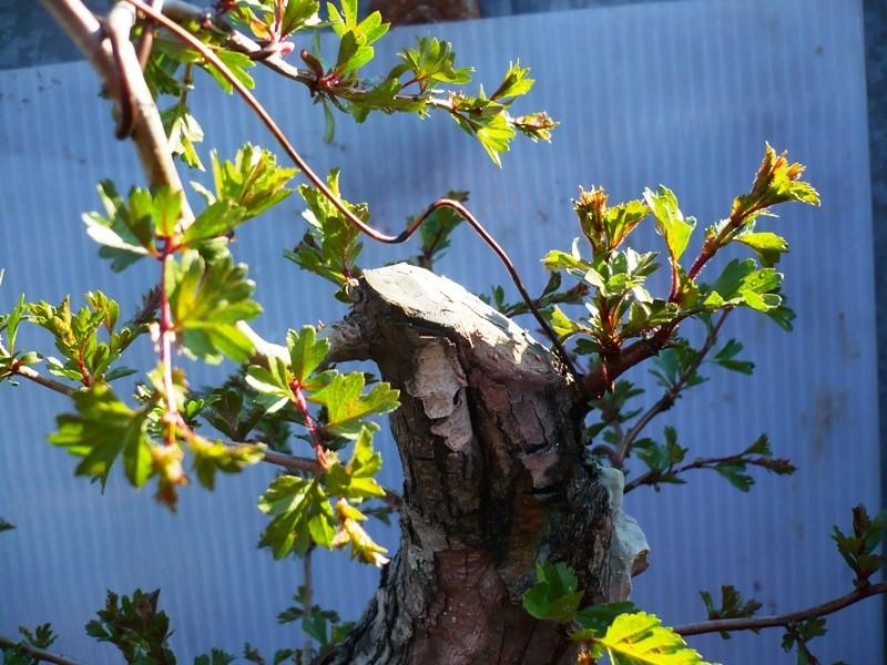 Un biancospino che diventa bonsai...... P1040413