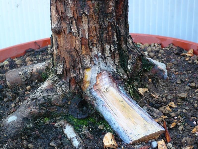 Un biancospino che diventa bonsai...... P1040414