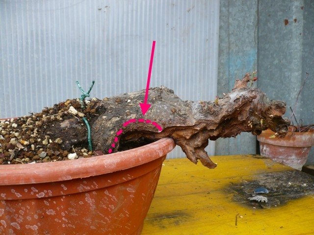 RESTYLING.....Prunus mume. P1050311