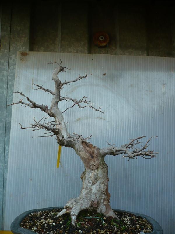 Un carpino...... P1050419