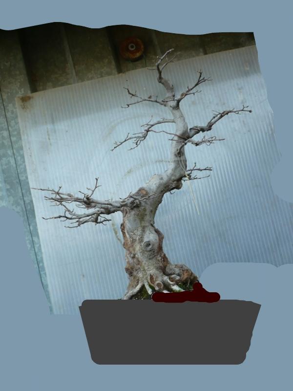 Un carpino...... P1050425