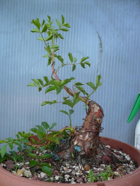 Una rosa senza spine..... P1050617