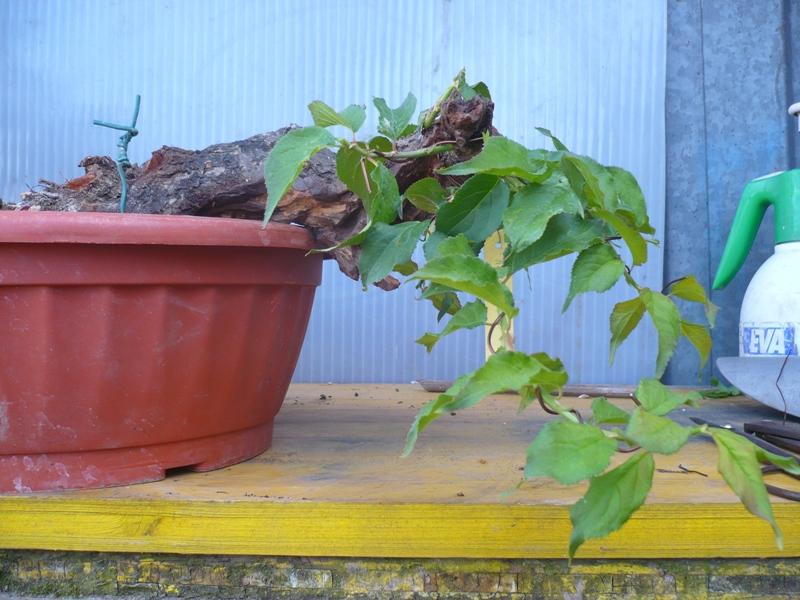 RESTYLING.....Prunus mume. P1050621