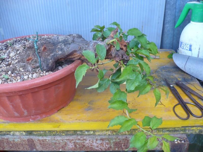 RESTYLING.....Prunus mume. P1050622