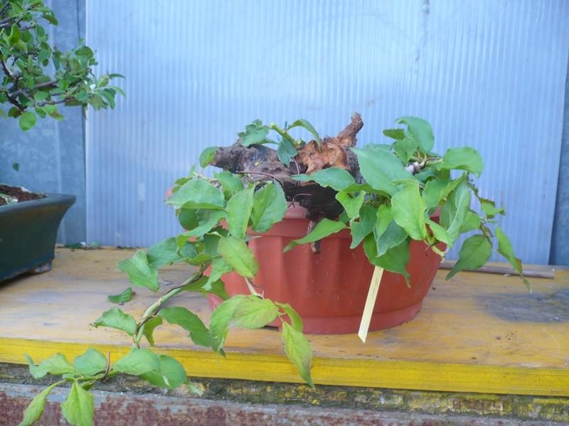 RESTYLING.....Prunus mume. P1050623