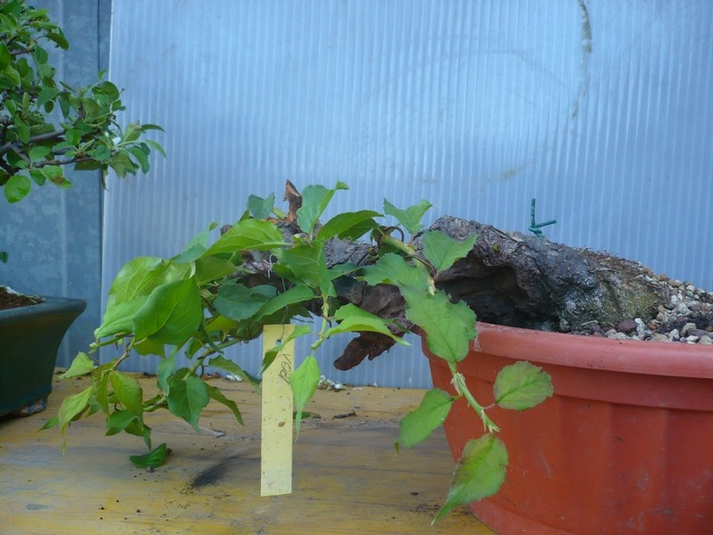 RESTYLING.....Prunus mume. P1050624