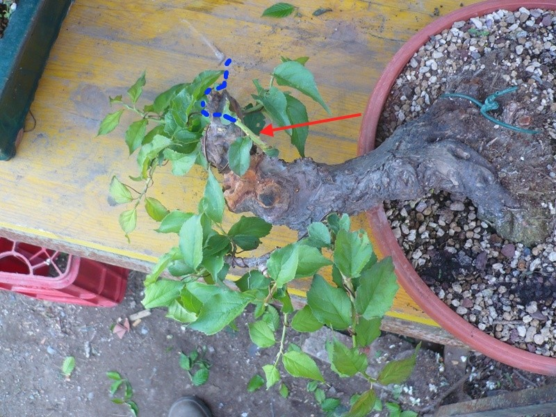 RESTYLING.....Prunus mume. P1050625