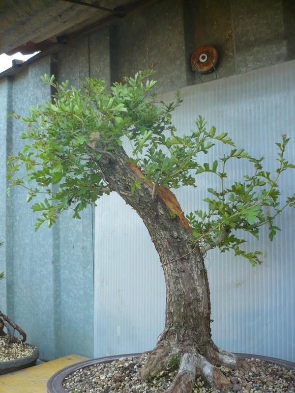 Un biancospino che diventa bonsai...... P1050626