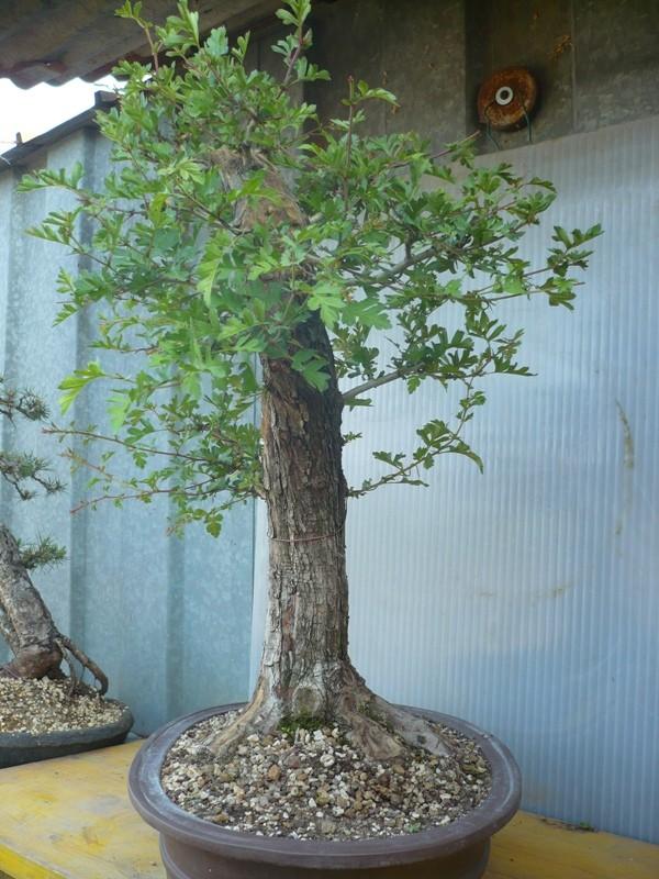 Un biancospino che diventa bonsai...... P1050628