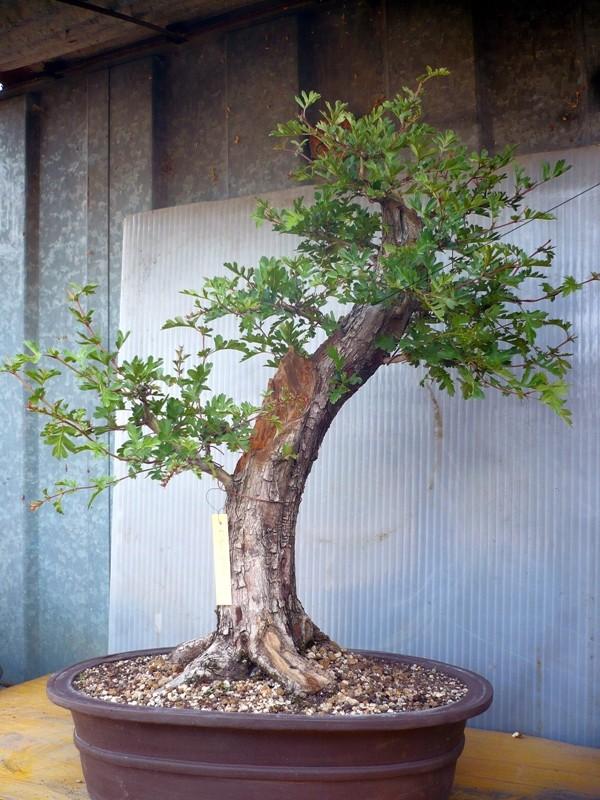Un biancospino che diventa bonsai...... P1050629